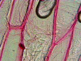 Клеточная структура лука репчатого, кратность 400х