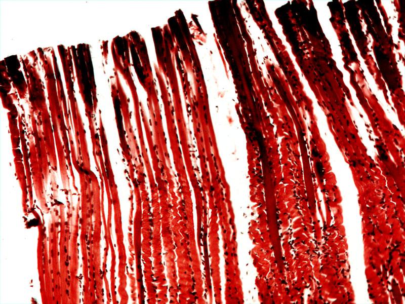 Продольное сечение скелетной мышцы под микроскопом Sigeta Biogenic: кратность 100x, камера Sigeta UCMOS 5.1 Mp