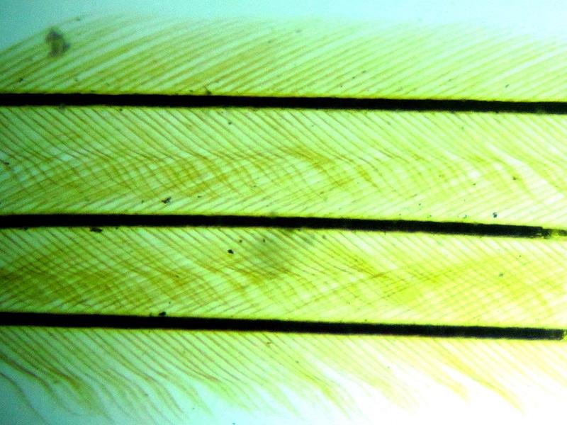 Слайд с пером птицы под микроскопом Sigeta MB-303: кратность 100x, камера Sigeta UCMOS 5.1 Mp