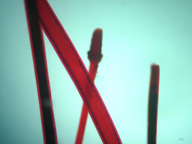 Волос человека под микроскопом Sigeta MB-303: кратность 400x, камера Sigeta UCMOS 5.1 Mp