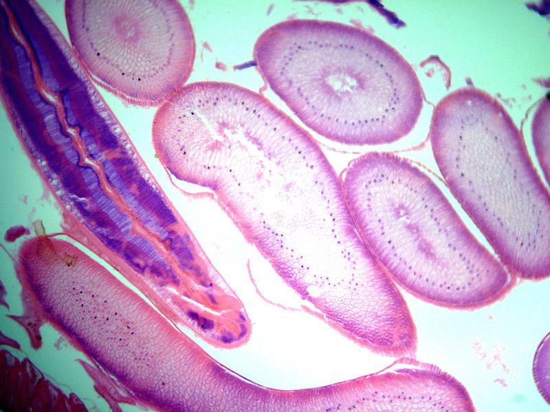 Поперечное сечение аскариды под микроскопом Sigeta MB-303: кратность 400x, камера Sigeta UCMOS 5.1 Mp