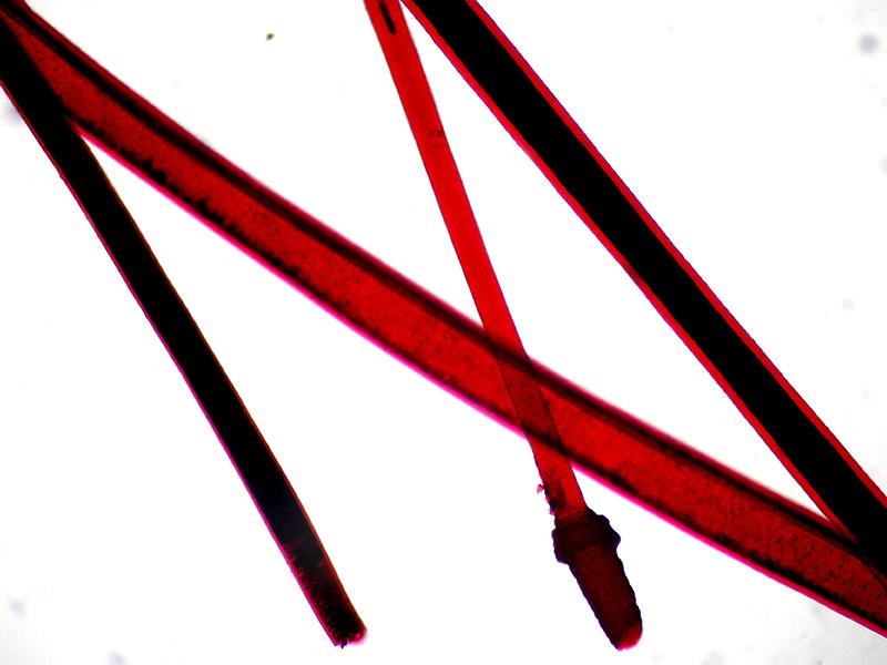 Волос человека под микроскопом Sigeta MB-303: кратность 400x, зеркальный фотоаппарат Canon 600D