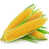 Токсичная для насекомых-вредителей кукуруза ГМО