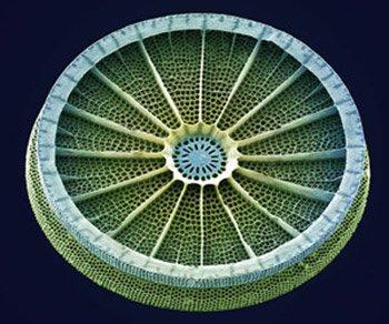 Половинка панциря диатомовой водоросли